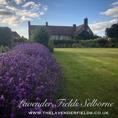 Lavender Fields July 2019