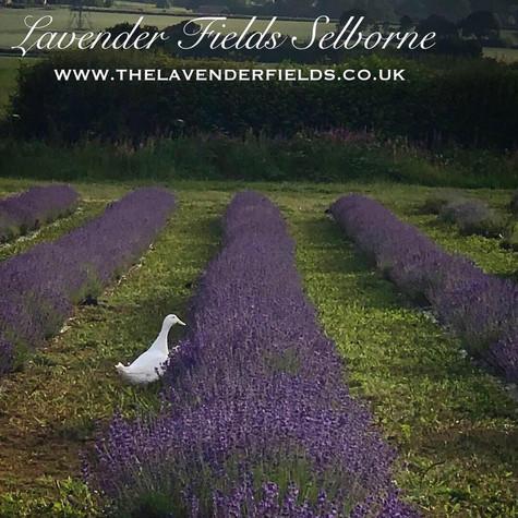 Ducks in Lavender
