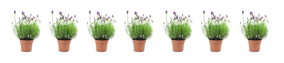 LAVENDER PLANTS.jpg