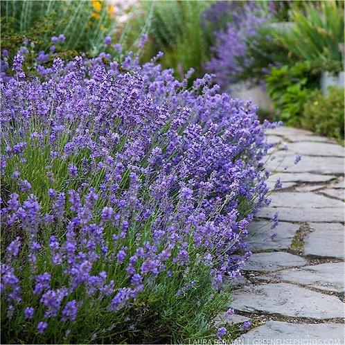Lavender Angustifolia - 'Munstead'