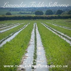 New Baby Lavenders in the field 2020