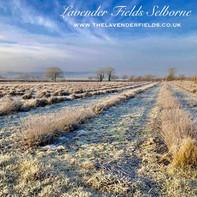 Frosty Lavender Field