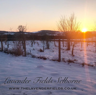 Snowy sunset at Lavender Fields