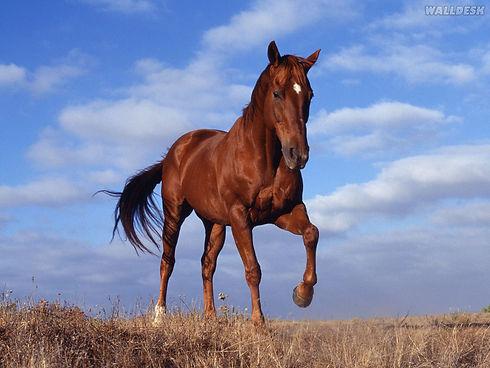 12957_cavalo-cavalgando-majestoso.jpg