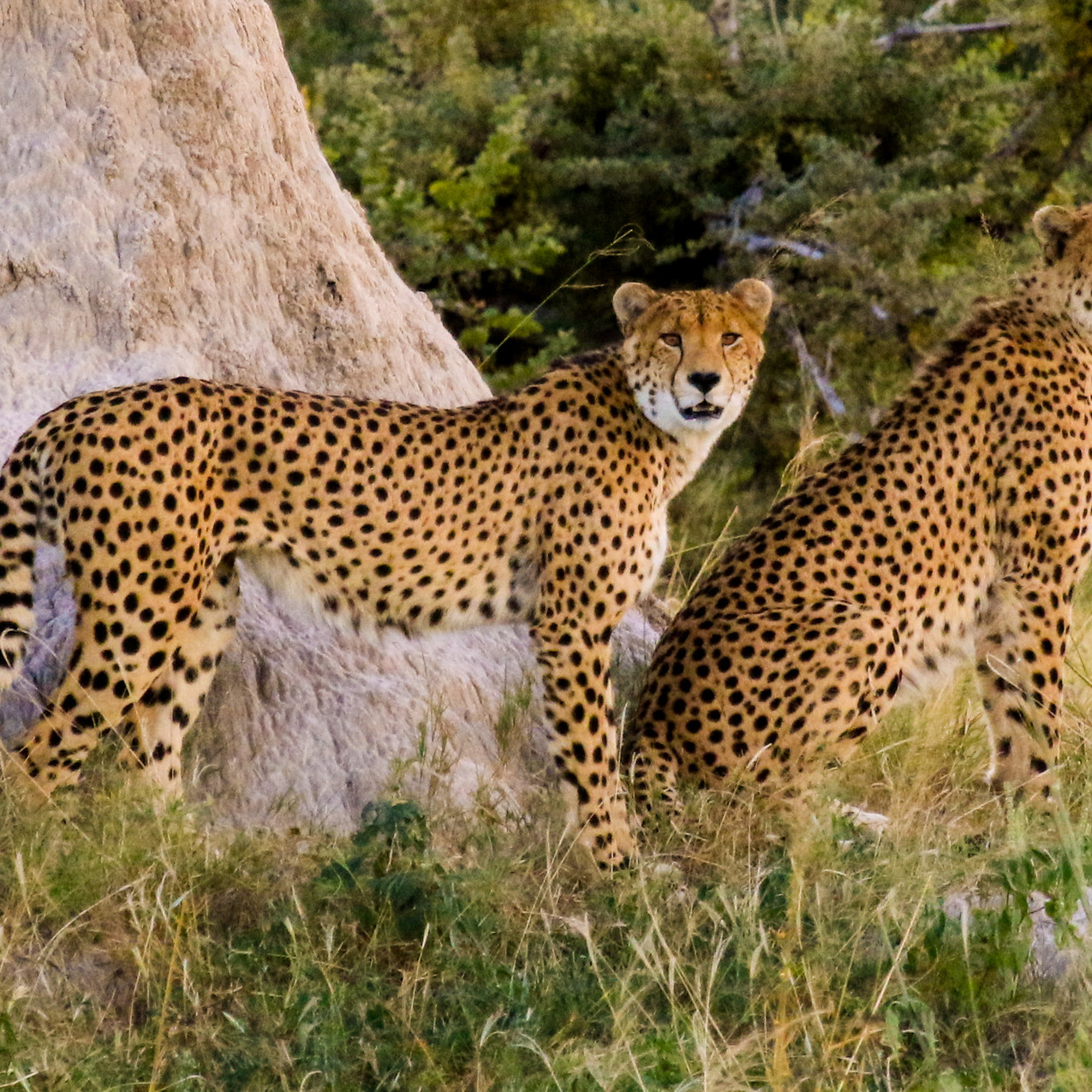 Cheetah's at Bomani Tented Lodge