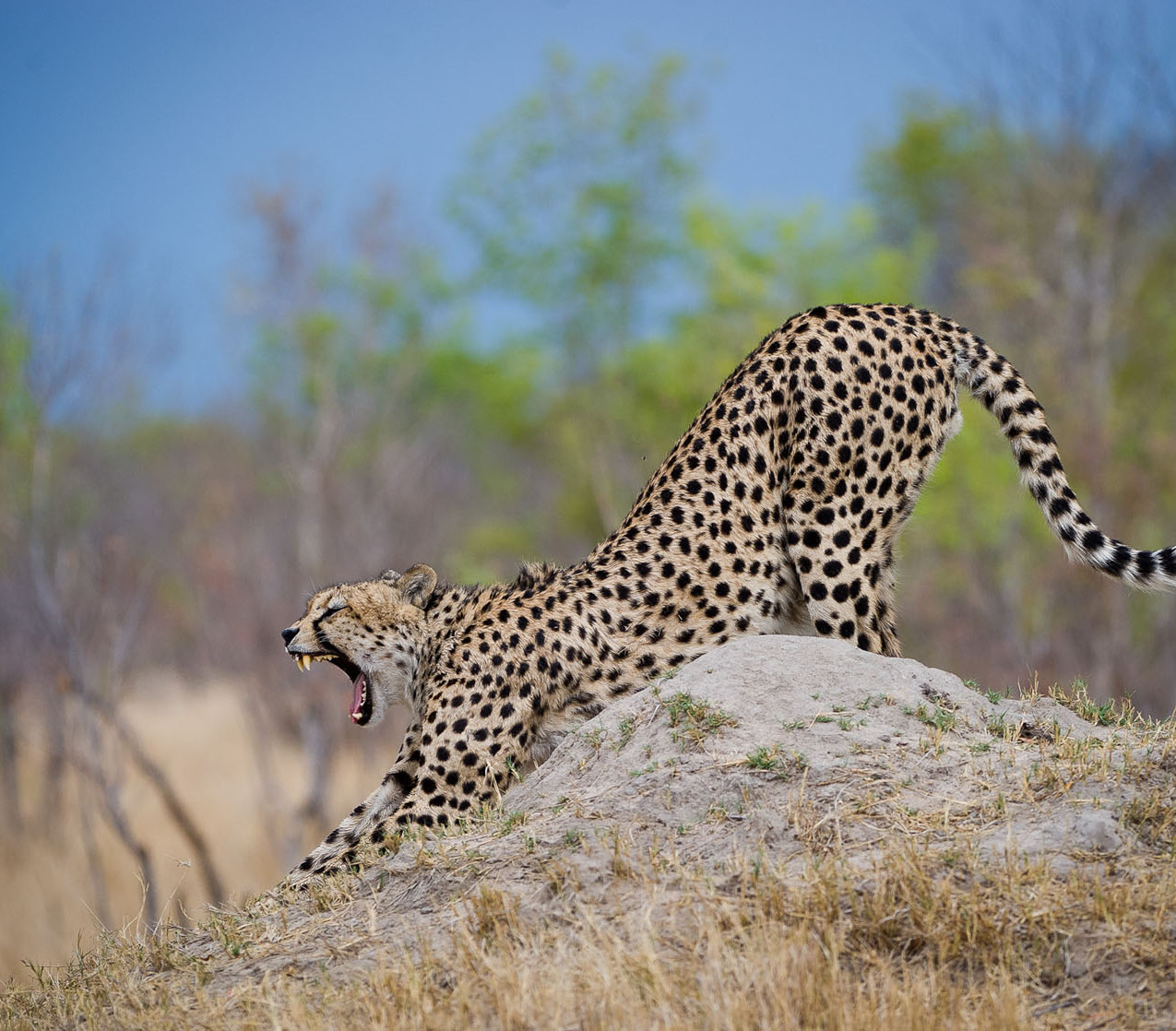 Cheetah at Davisons Camp