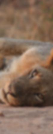 Zambia - lion