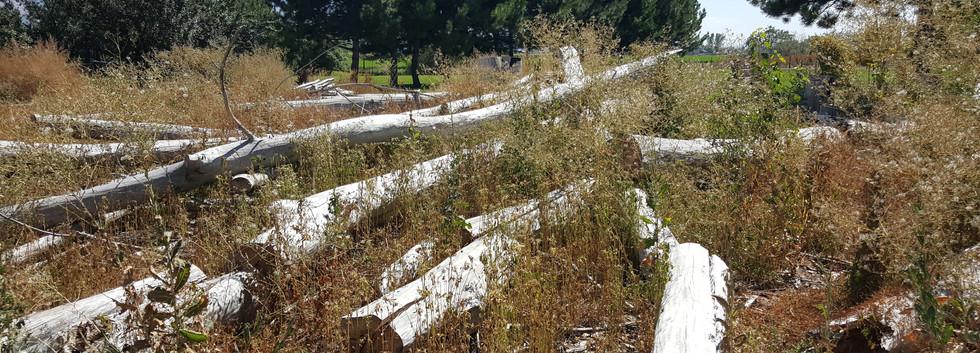 Field of Cottonwood trees