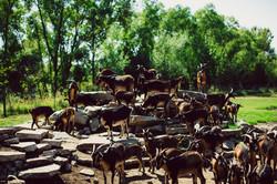 WVF Goats