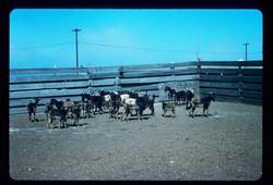 SCI goats 1975 Image 20