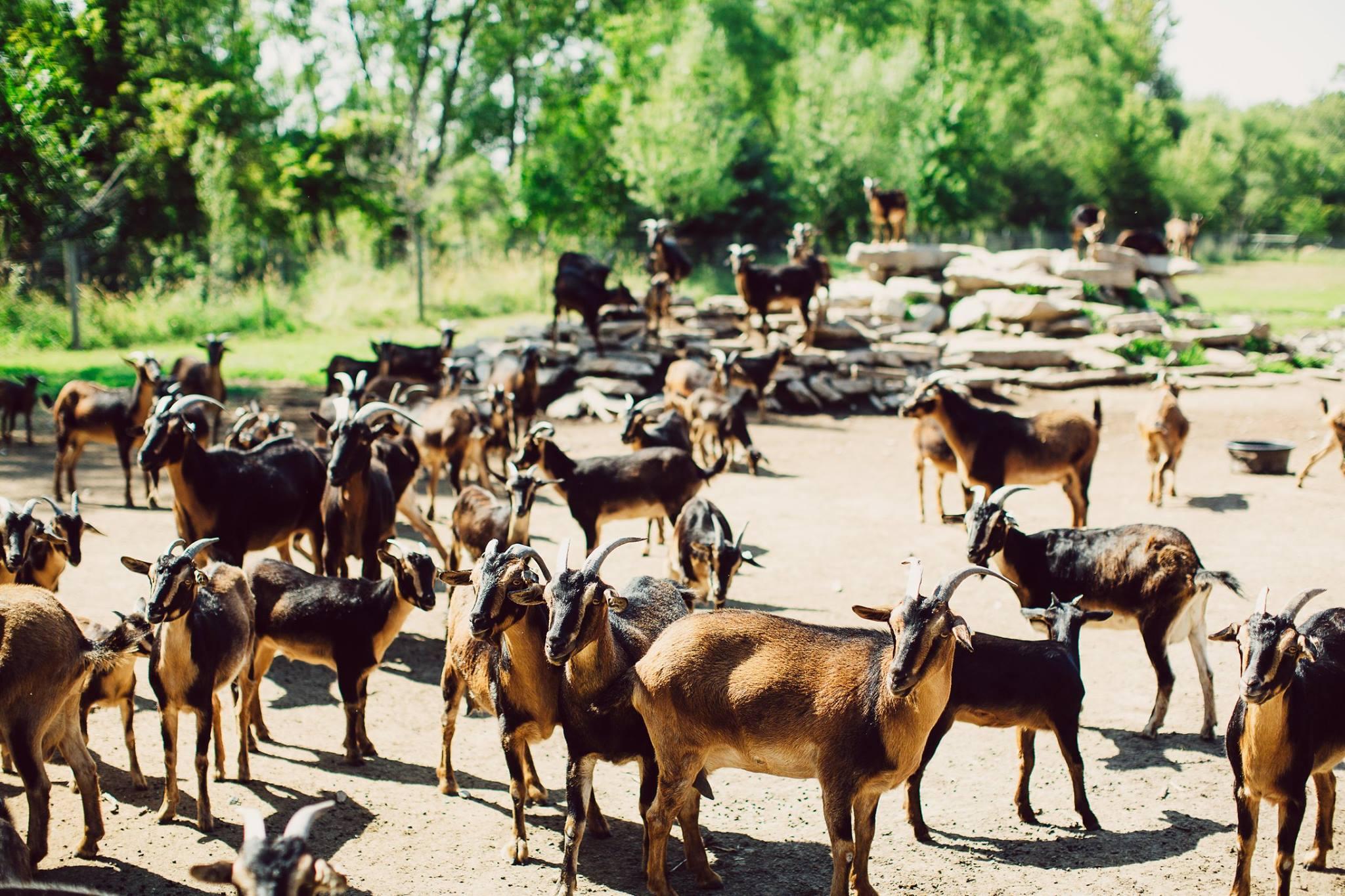 WVF Goats 2