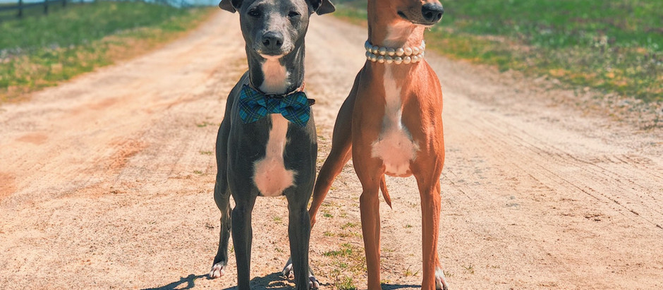 Top 5 Things To Know About Italian Greyhounds
