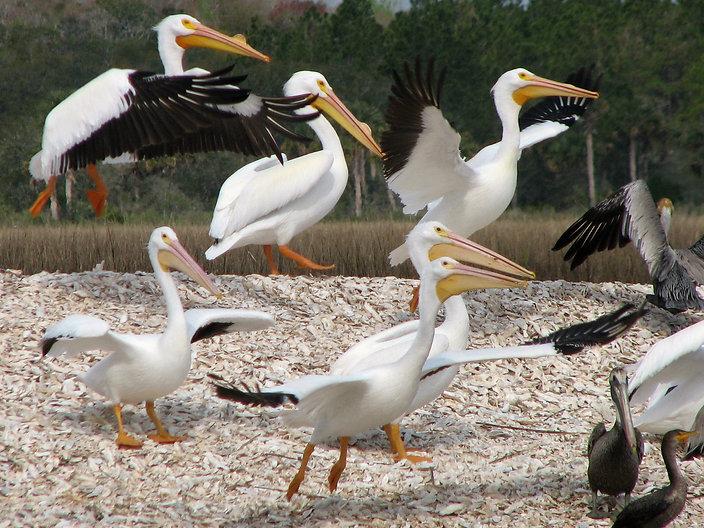 White_Pelican2.jpg