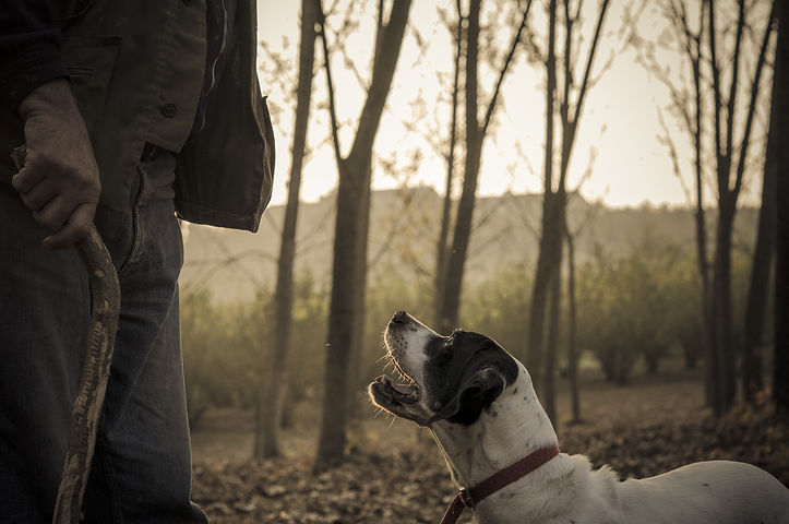 Old man with his dog searching truffle i