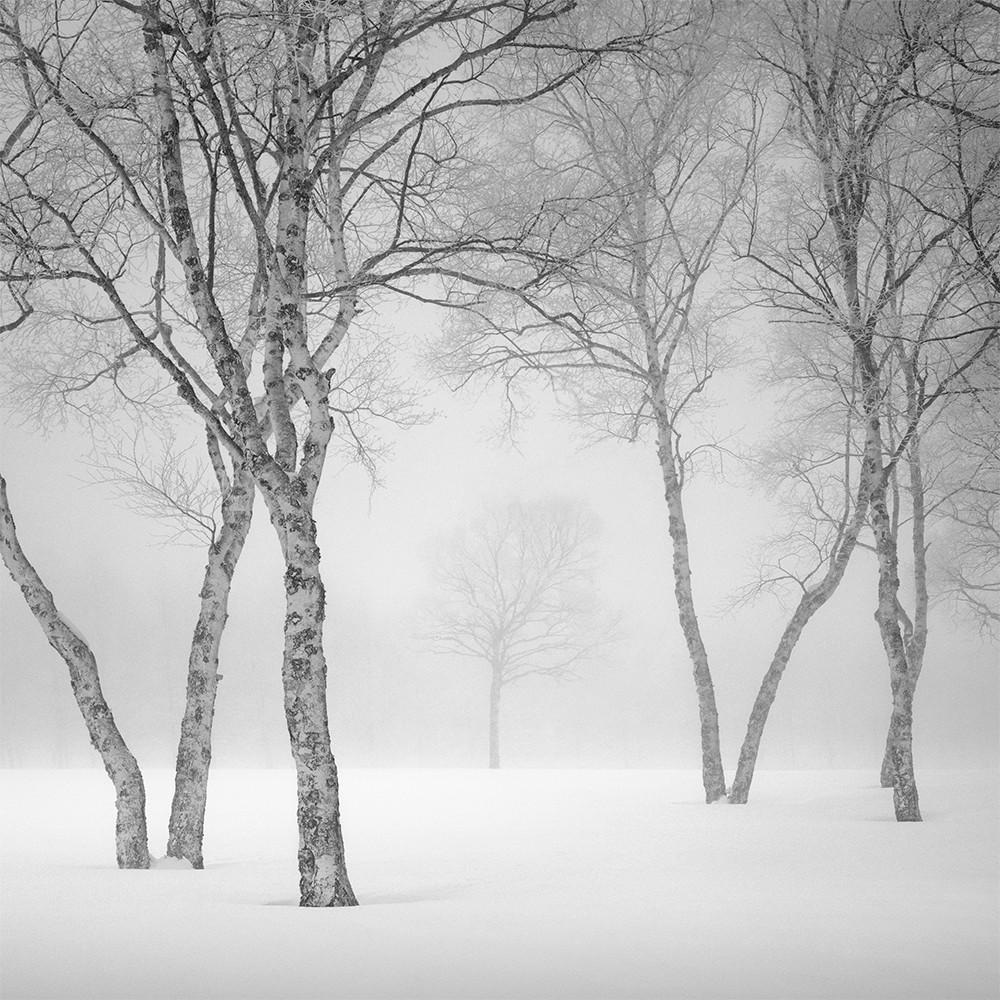 white birch in winterfog 2012