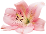 Exmoor-Flowers-Lily.png