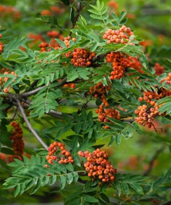 Rowan tree full of berries in autumn