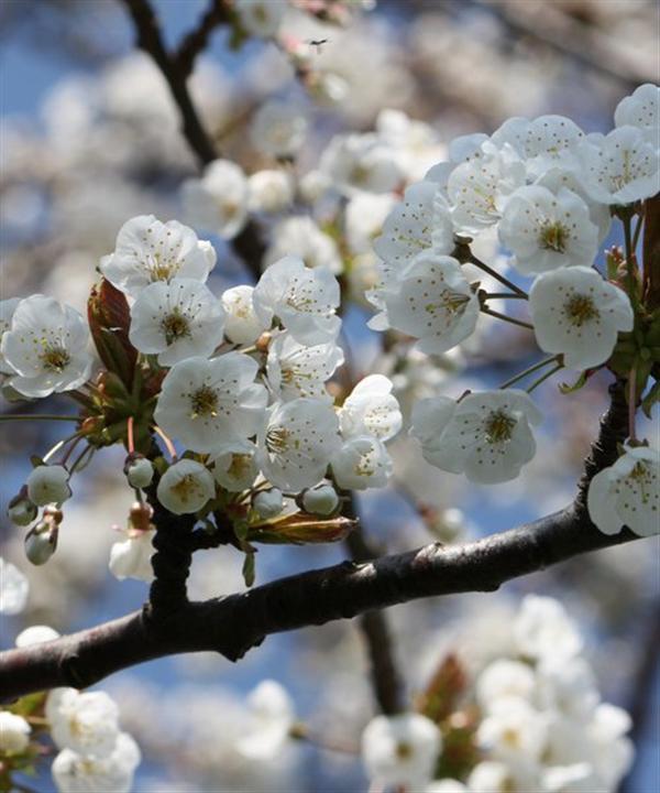 The Wild Cherry's pretty white blossom