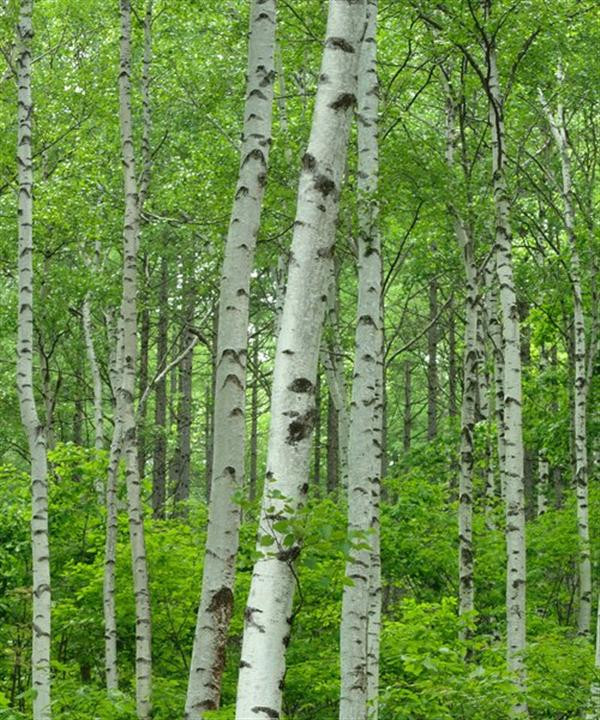 The Silver Birch looks especially good in a small copse (group)