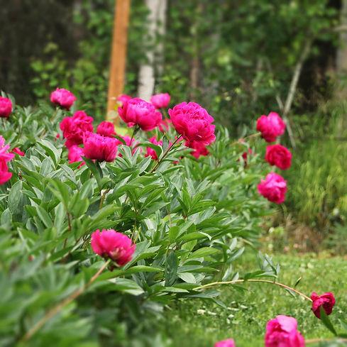 Alaska Blooms 016.jpg