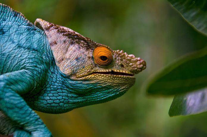 Caméléon - Madagascar - Madascarenes