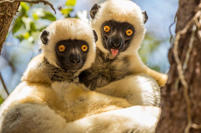 Lémuriens - Madagascar - Madascarenes