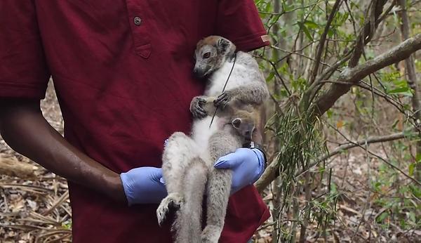 Lemurien - Madascarenes