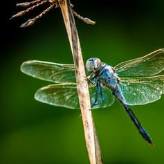 Dragonfly slightly broken but beautiful.jpg