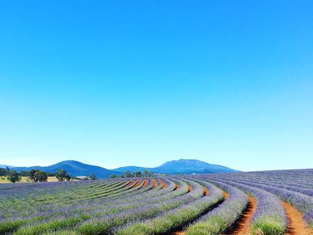 Bridestowe Lavender Fields, in Tasmania.
