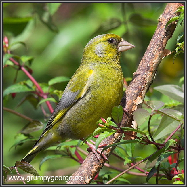12.12.greenfinch.01