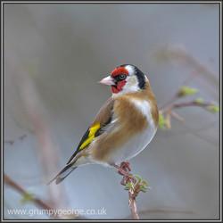 12.12.goldfinch.01