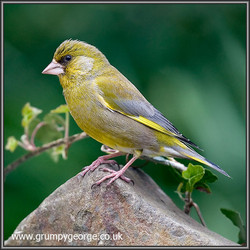 12.12.greenfinch.02