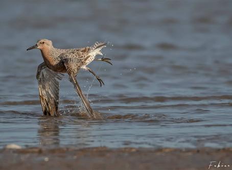 Las líneas de pesca deportiva abandonadas son una amenaza para las aves playeras