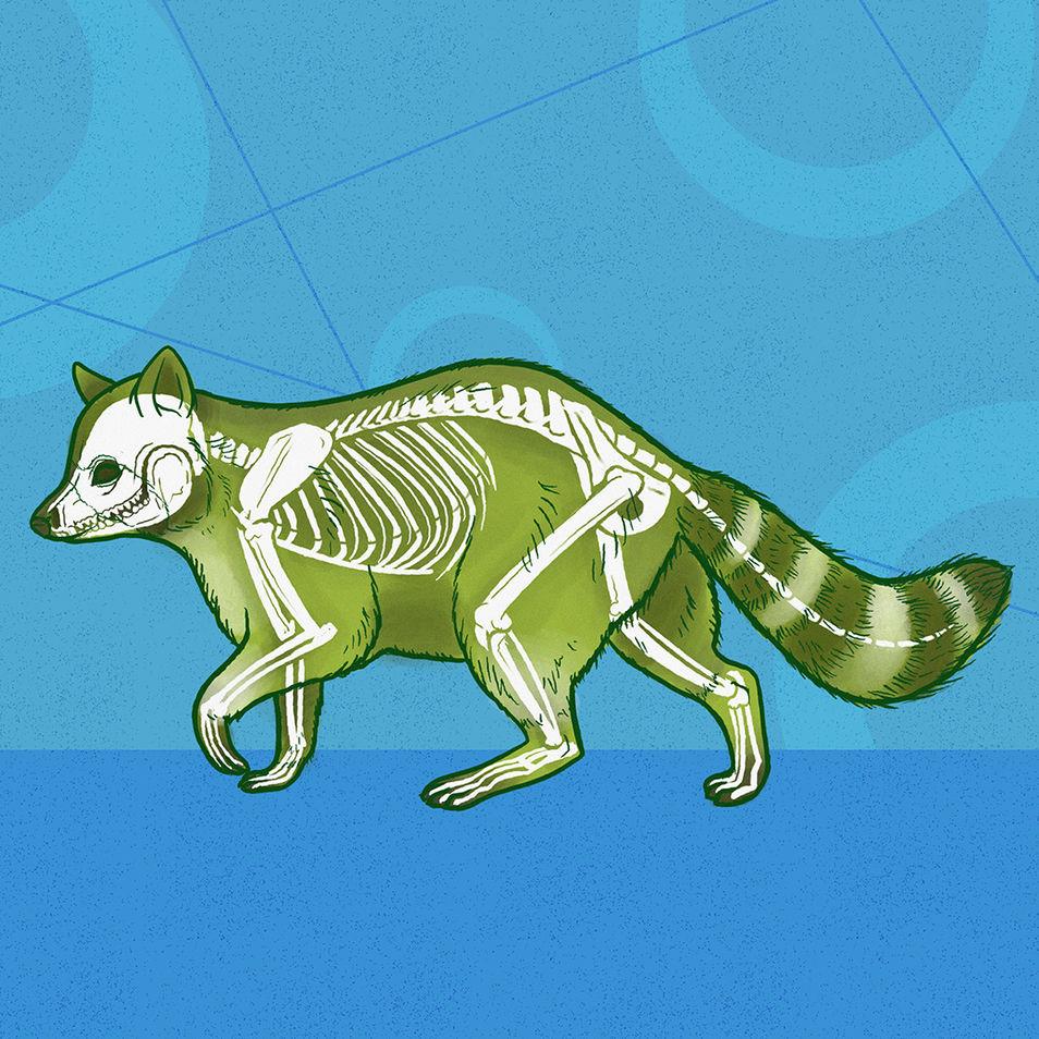 What's Inside   Raccoon