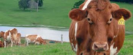 Happy cattle.jpg