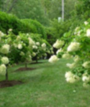 700_leva-garden-hydrangea-trees.jpg