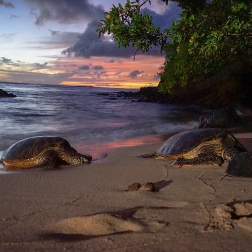 hawaii-turtles-sunset.JPEG