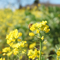 Sonoma County Bees and Yellow Flowers