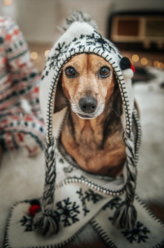 Cute dog dressed up for Christmas