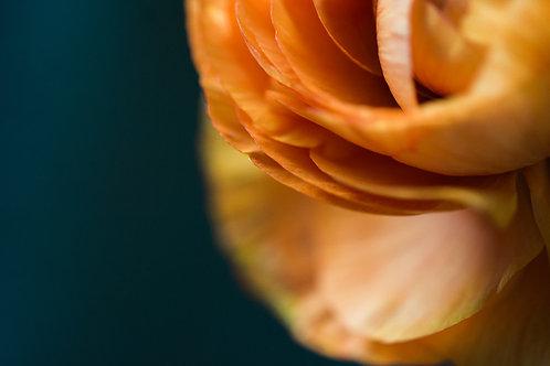 Ranunculus - Fine Art Print by Melissa Jeras