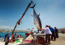320 kg Tuna Fish. Tarifa Harbour.