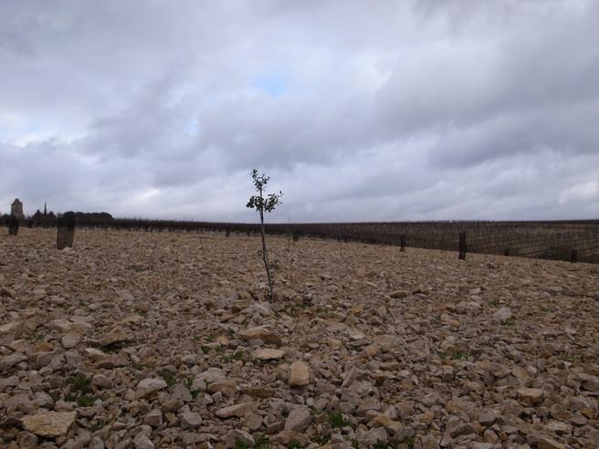 Le Chêne et le cep / Lalbenque - Cahors - Cieurac (Lot)