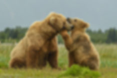 Image of Mom and Baby bear by Christopher Balmer on Alaska Bear Photo Tour