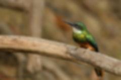 Image of bird by Christopher Balmer Brazil Photo Tour