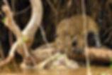 Image of Cheetah by Christopher Balmer Brazil Photo Tour