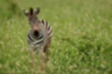 Photo taken by Christopher Balmer of a zebra on an Africa Photo Tour