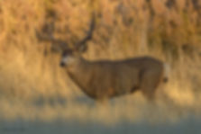 Christopher-Balmer-Mule-Deer-Buck.jpg