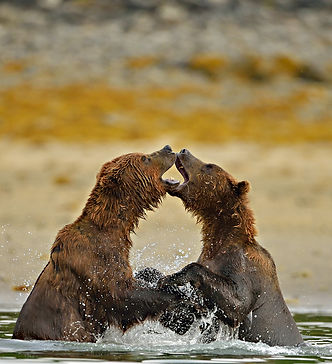 Image of Bear water fight by Christopher Balmer on Alaska Bear Photo Tour