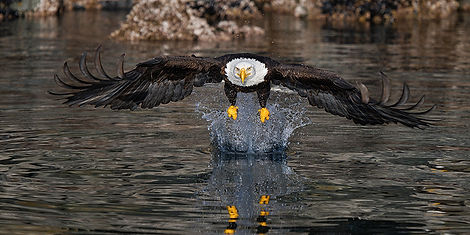 Image of Eagle landing by Christopher Balmer on Alaska Eagle Photo Tour