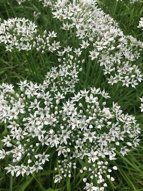 Garlic Chives + blossoms
